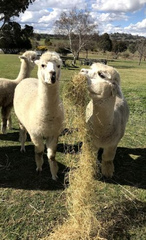 Clearview Alpacas - Accommodation Nelson Bay