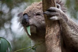 Phillip Island Koala Conservation Centre Entry ticket - Accommodation Nelson Bay